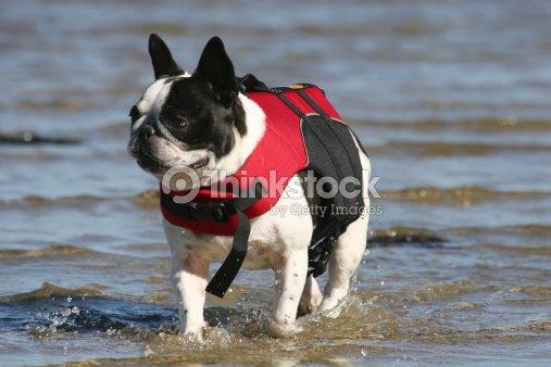 french bulldog in lifevest stock photo thinkstock