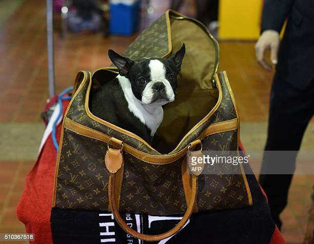 A French Bulldog is seen in the benching area February 15 2016 in New York during the first day of competition at the Westminster Kennel Club 140th...