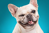 French bulldog isolated over blue background, retouched