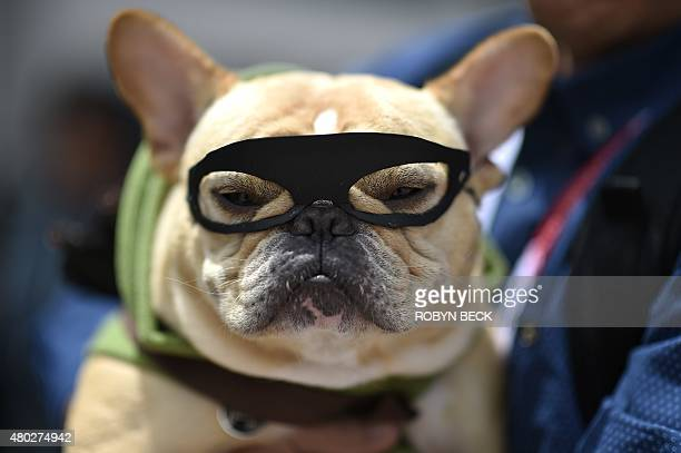 French bulldog 'Ollie' is dressed as the superhero The Arrow outside the San Diego Convention Center at Comic Con International 2015 in San Diego on...