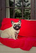 French Bulldog on a Sofa
