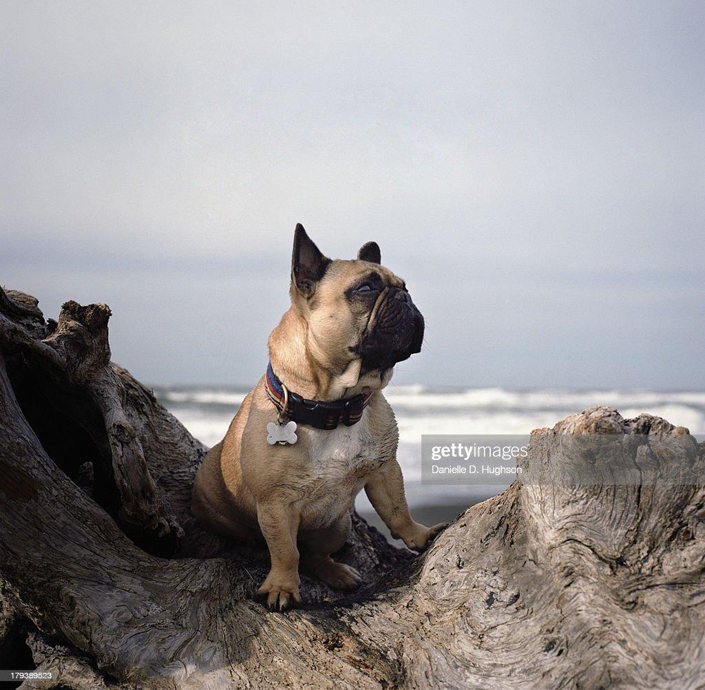 French bulldog on log at beach