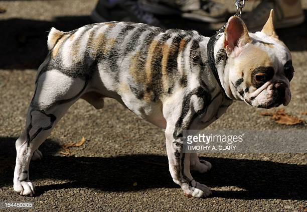 A French Bulldog painted as a Skeleton attends the 22nd Annual Tompkins Square Halloween Dog Parade in New York on October 20 2012 The parade of...
