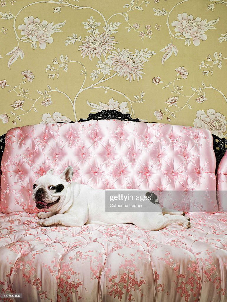 French Bulldog portrait on chair with wallpaper : Stock Photo