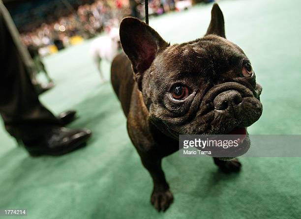 French bulldog prepares for competition on the opening day of the 127th Westminster Kennel Club Dog Show February 10 2003 at Madison Square Garden in...