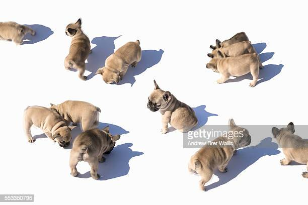 French bulldog puppies on the move