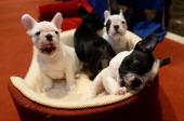 French Bulldog puppies pose as the 2013 most popular dog breeds in the US are unveiled to the press at the American Kennel Club in New York on...