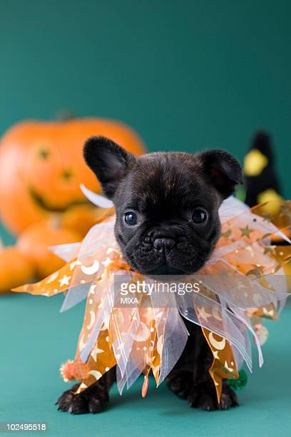 French Bulldog Puppy and Halloween