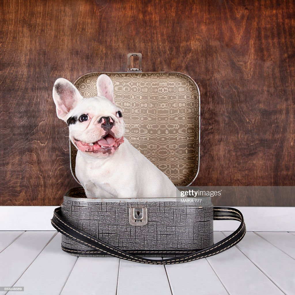 French Bulldog puppy in a suitcase, vintage style
