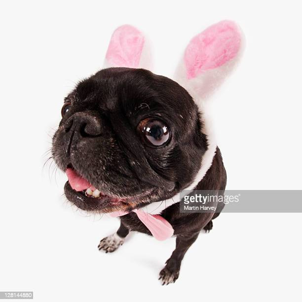 French bulldog puppy (Canis lupus familiaris) in Easter Bunny ears in front of white background