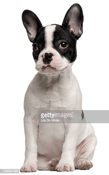 French Bulldog puppy (3,5 months old)