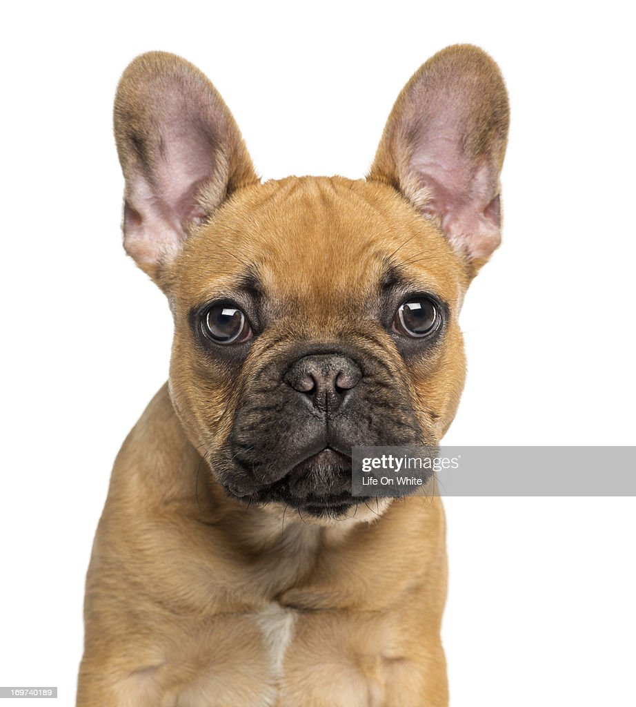 French Bulldog puppy : Stock Photo