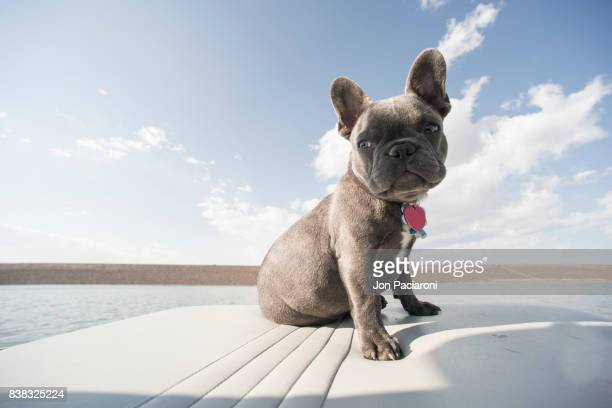 French Bulldog puppy sitting calmly