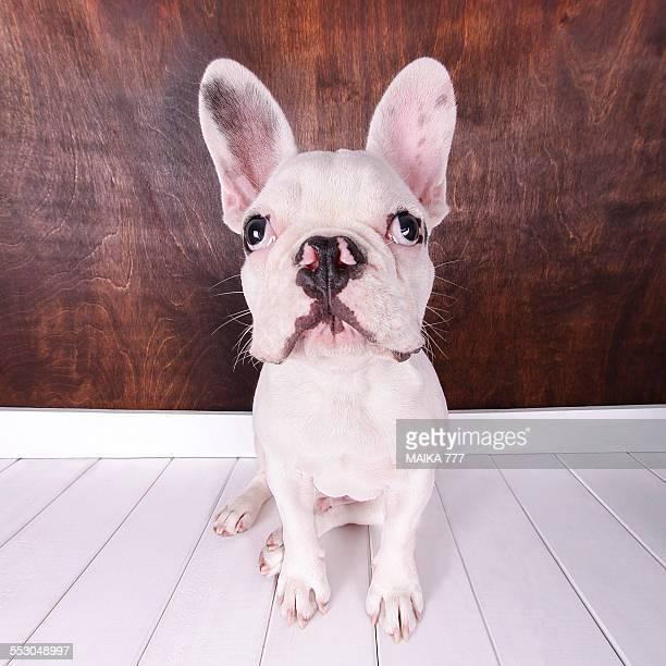 French Bulldog puppy sitting looking at camera