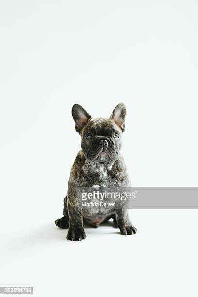 French bulldog puppy sitting looking to camera