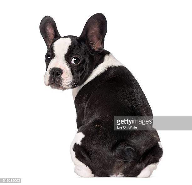French Bulldog puppy (3 months old) sitting