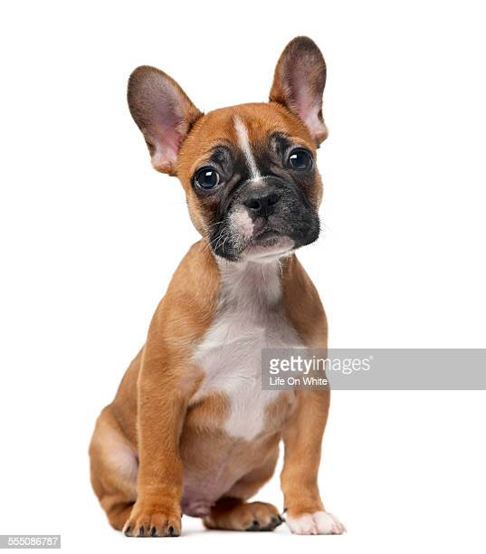 French bulldog puppy sitting