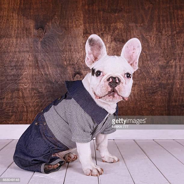 French bulldog puppy wearing denim overalls