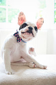 Cute French Bulldog puppy with floral pattern bow tie looking at camera