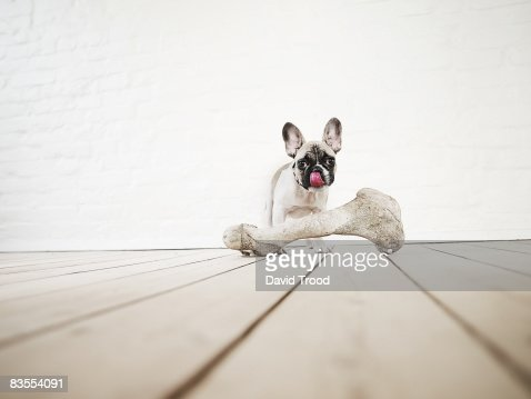 French bulldog puppy with huge bone.