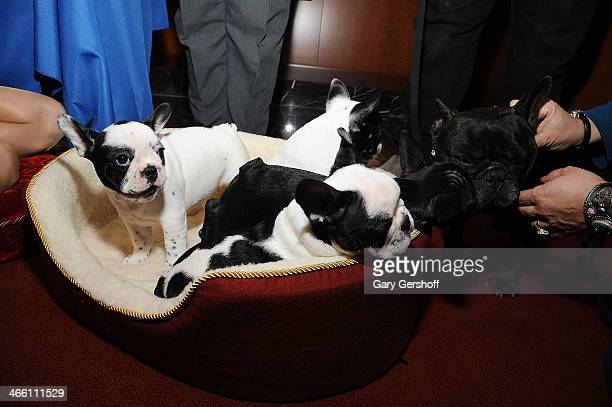 French Bulldog pups seen during the American Kennel Club's 'Most Popular Breeds 2013' press conference on January 31 2014 in New York City