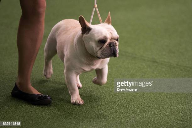 French Bulldog runs during competition at the 141st Westminster Kennel Club Dog Show February 13 2017 in New York City There are 2874 dogs entered in...