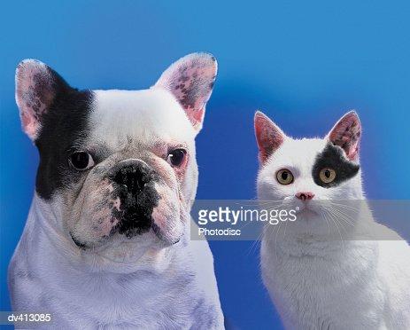 French Bulldog sitting beside black and white Cat : Stock Photo