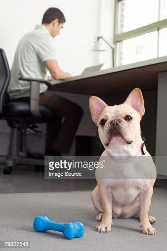Französische Bulldogge sitzend in einem Büro