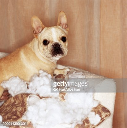 French bulldog sitting on torn pillow