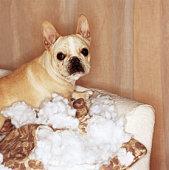 French bulldog sitting on torn pillow