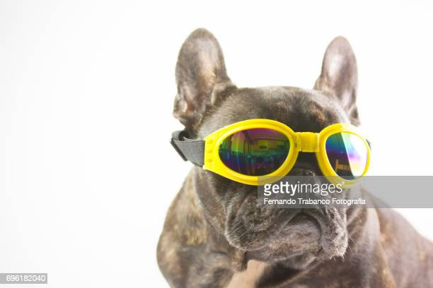French bulldog sitting with yellow glasses