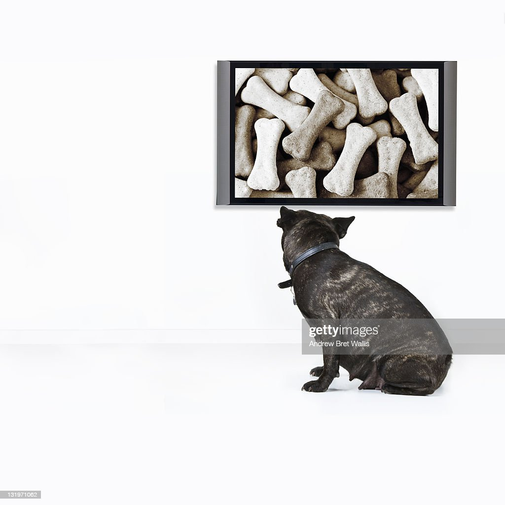 French Bulldog wants the food shown on TV : Stock Photo