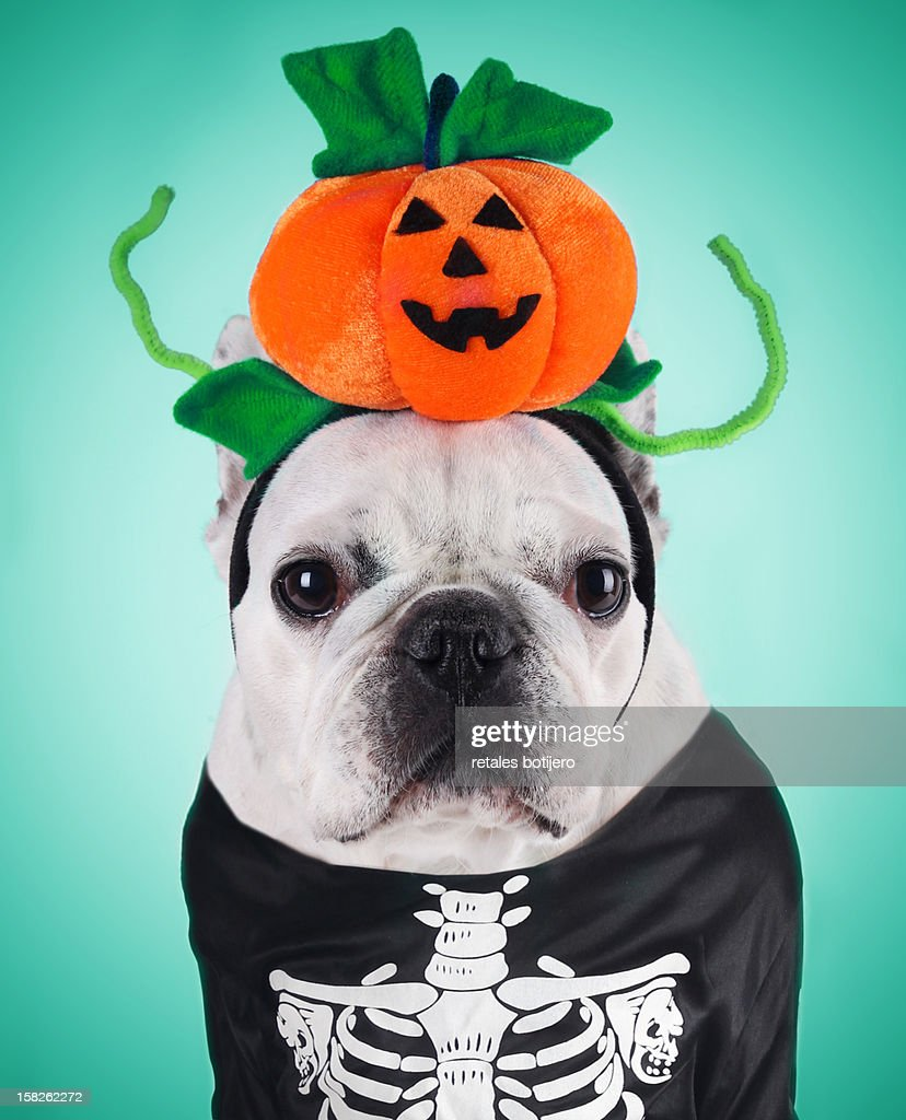 french bulldog wearing Halloween costume, portrait : Stock Photo
