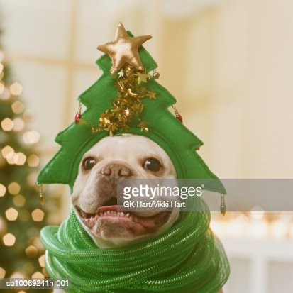 French Bulldog wearing hat and green ribbon in front of Christmas tree, close-up : Stock Photo