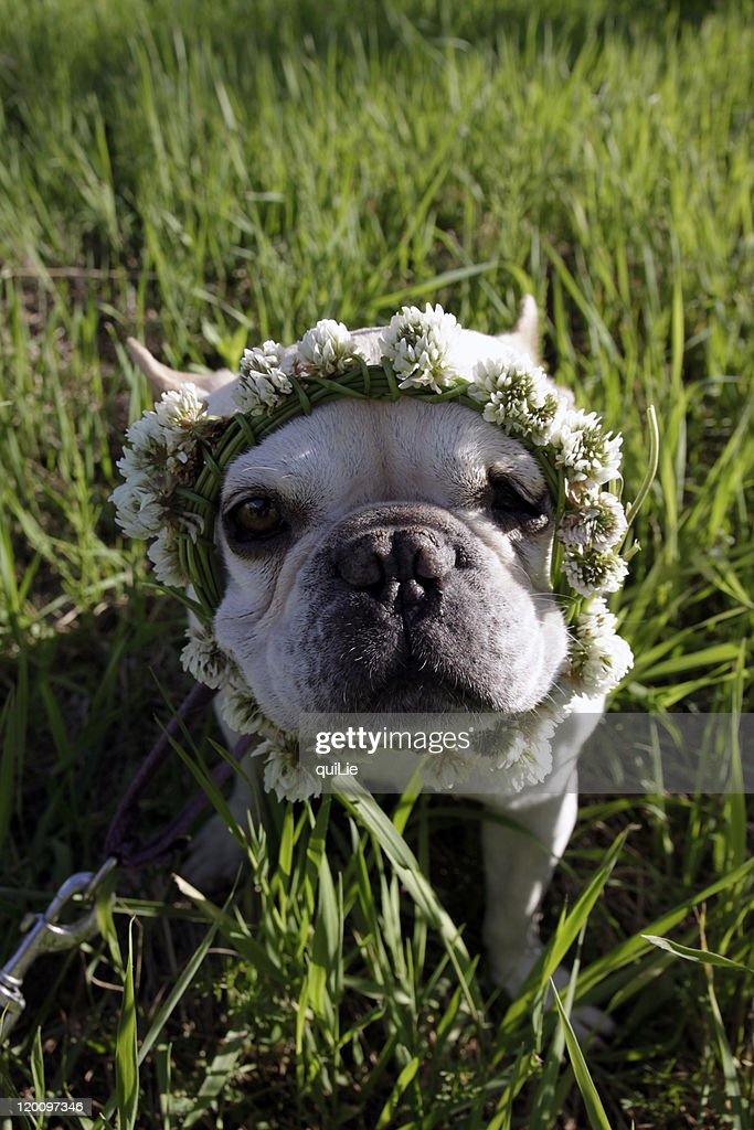 French bulldog wearing white clover crown : Stock Photo