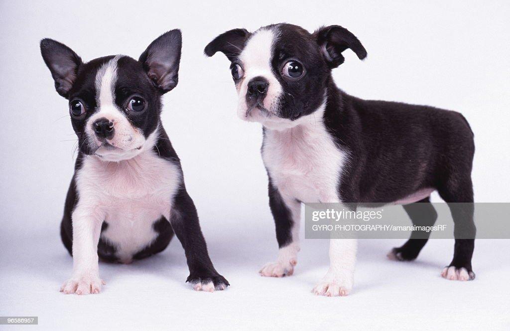 French Bulldog, white background : Stock Photo