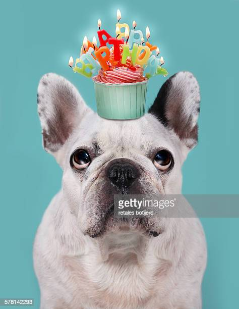 French bulldog with birthday cupcake