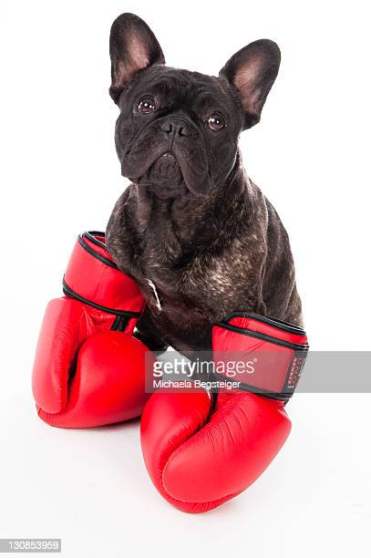 French Bulldog with boxing gloves