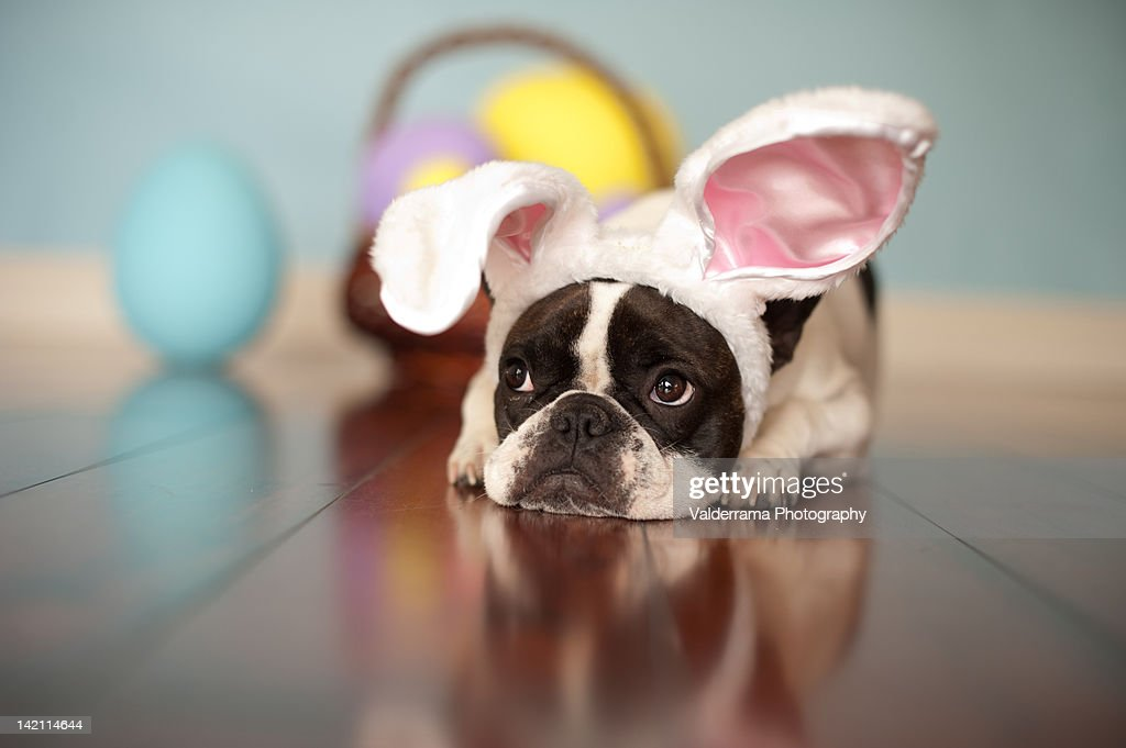 French Bulldog with bunny ears and Easter basket.