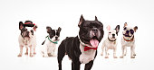 excited french bulldog with mouth open and eyes closed wearing bowtie , in front of  group of other dogs on white background