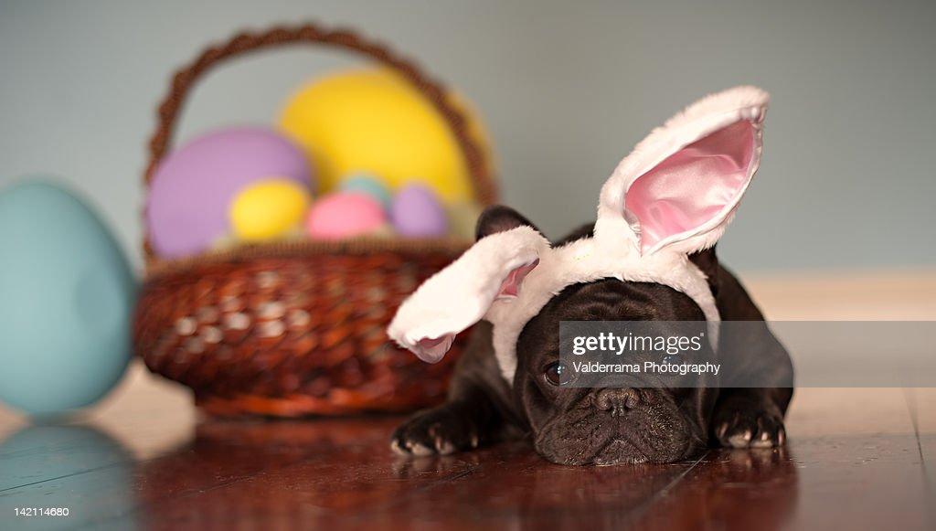 French bulldogm lying against Easter eggs : Stock Photo