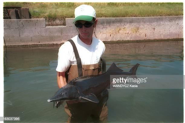 French Caviar Pisciculteur dans un bassin d'élevage tenant un esturgeon à la pisciculture STURGEON à SAINTFORTSURGIRONDE