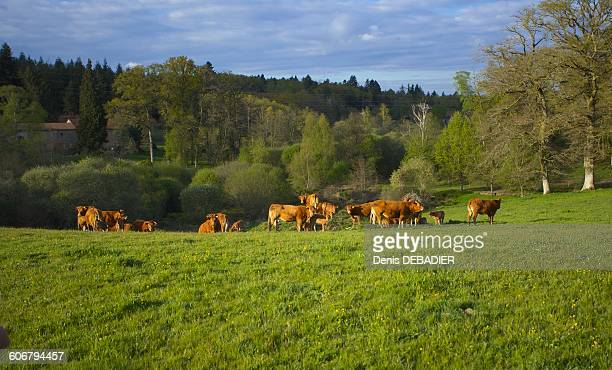 French countryside with cows