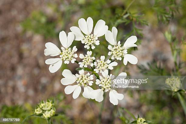 French Cow Parsley -Orlaya grandiflora-, flowering, native to the Mediterranean, Thuringia, Germany