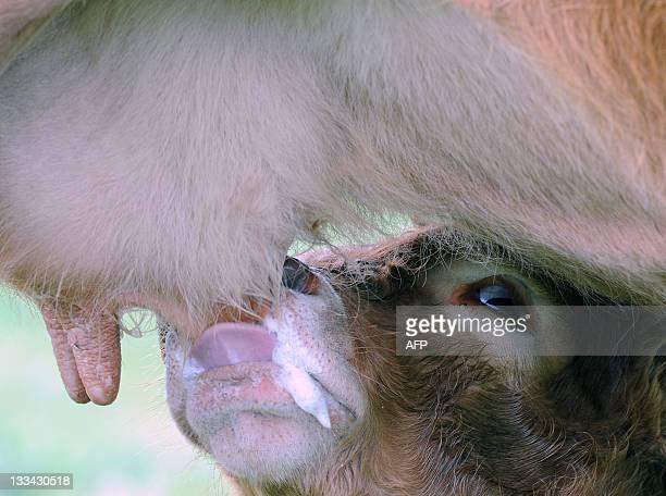 'LE REVE BRISE D'UN COUPLE D'AGRICULTEURS VICTIME D'UNE POLLUTION AUX PCB' A French farmer JeanPierre Reigner's 'milkfed' calf sucks at his mother's...