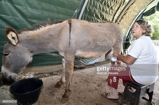 French farmer Vivianne Salesse milks one of her jennies at her farm on June 27 2014 in FlaujacGare southern France where she collects 500 liters of...