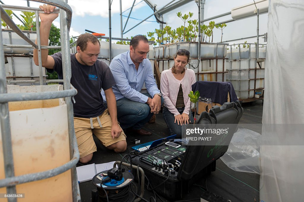 French geochemist at the IRD Cyril Marchand beside PhD students works on June 28 2016 in MontDore near Noumea next to mangrove plants installed in a...