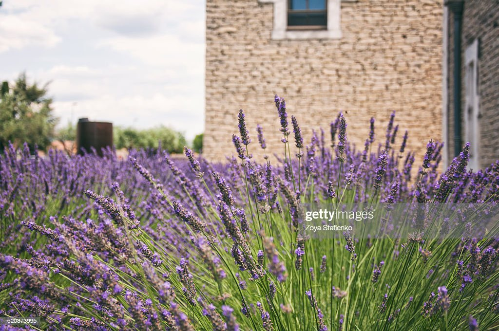 french lavender in provence stock photo - French Lavender
