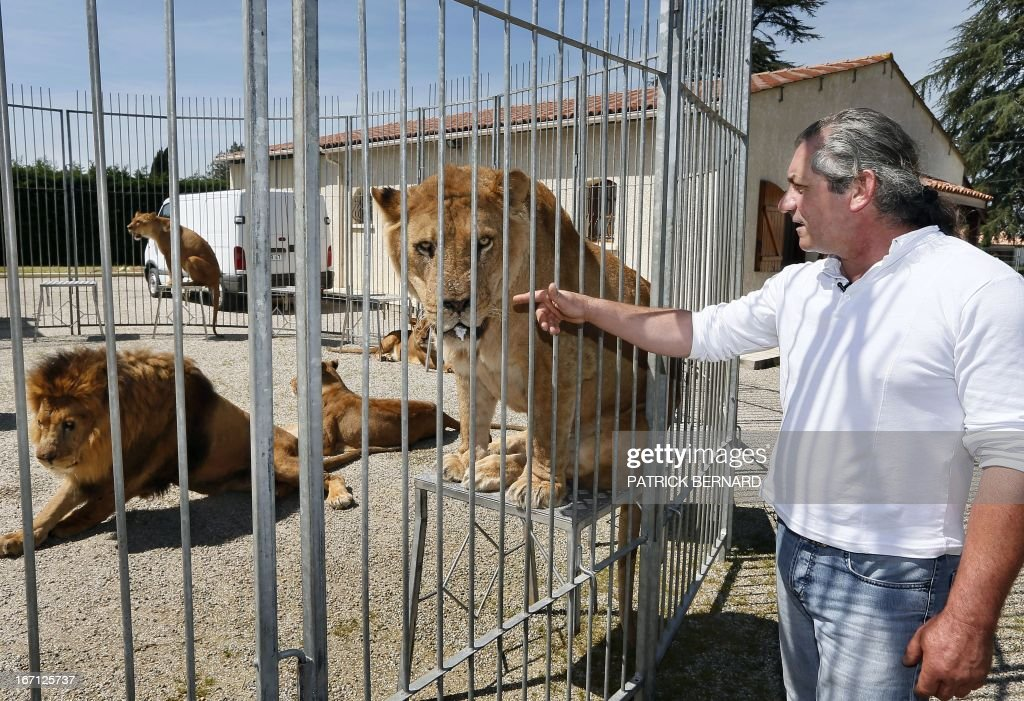 French lion tamer Frederik Rosel stands near one of his 13 lions on April 17, 2013 in his garden in Sainte Livrade, southwestern France. Rosel awaits to sign a contract with a circus. AFP PHOTO / PATRICK BERNARD