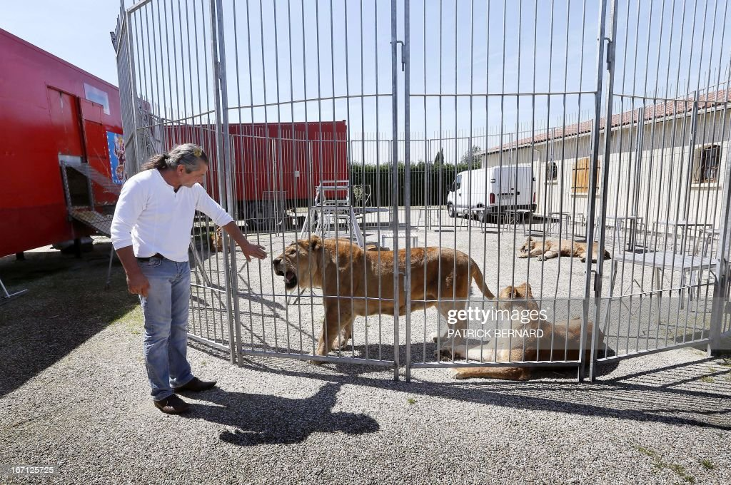 French lion tamer Frederik Rosel stands near one of his 13 the lions on April 17, 2013 in his garden in Sainte Livrade, southwestern France. Rosel awaits to sign a contract with a circus.